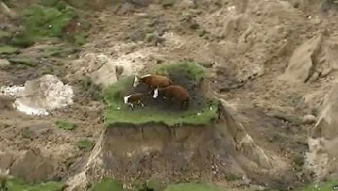 ¿Que pasó con las vacas atrapadas en Nueva Zelanda?