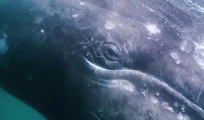'La Niña' provoca que ballena gris viaje al sur en busca de calor: científicos