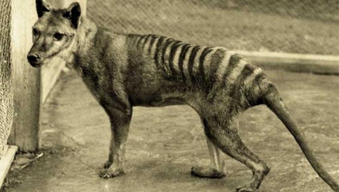 Resurge esperanza de hallar vivo al tigre de Tasmania; lanzan búsqueda