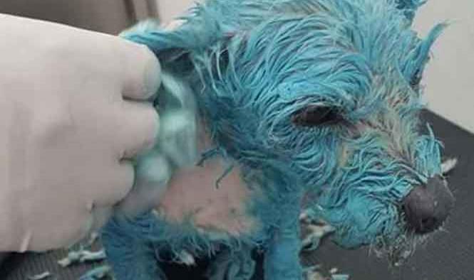 Baña a perrita de azul con pintura de aceite y lo presume en Facebook