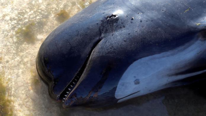 Encallan 200 ballenas en Nueva Zelanda tras la muerte de cientos más