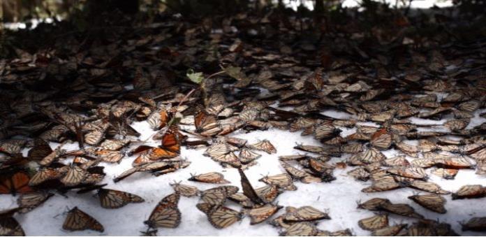 Disminuye población de mariposa monarca en Michoacán