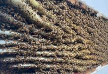 VIDEO: Descubre en su sala más de 100.000 abejas (y no es la primera vez que su casa sirve