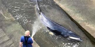 Rescatan a una ballena que quedó varada en el río Támesis