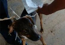 Lomito infractor: Cae perro que servía como cartero en cárcel