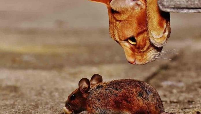 Chicago libera más de mil gatos para combatir plaga de ratas