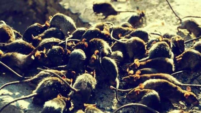 Una plaga sin precedentes en Australia: las ratas arrasaron los campos