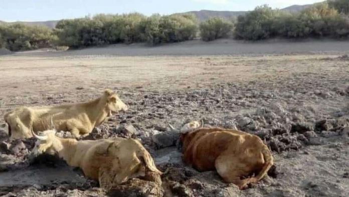 Grave sequía, muere ganado