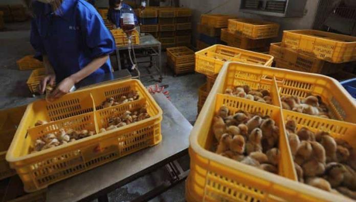 Confirma China primer contagio humano de gripe aviar H10N3