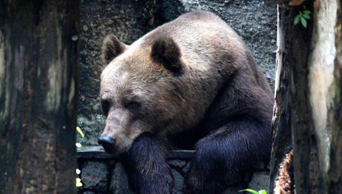 La asombrosa pelea entre una adolescente y un oso que quería atacar a sus perros