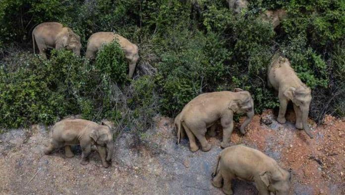 Manada de elefantes anda vagando por China y causa severos destrozos