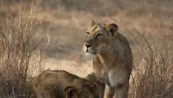Covid mata a leona de zoológico de la India; varios animales contagiados