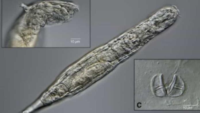 Gusano microscópico vuelve a la vida tras estar congelado 24 mil años