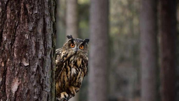 Avistan a búho asiático tras más de un siglo de considerarlo 'extinto'