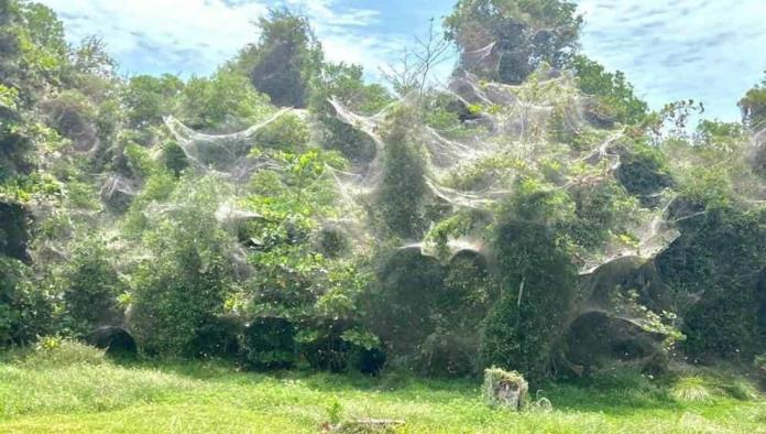 Las impresionantes telarañas kilométricas que han aparecido en Quintana Roo