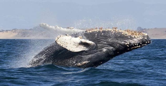 Pescador es tragado por ballena jorobada y sobrevive