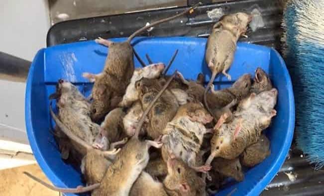 Despierta cuando ratón le muerde el ojo tras una plaga de roedores