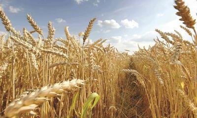 Superan ganancia del trigo