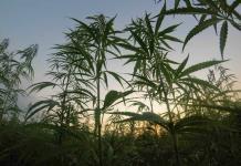 ¿Acabará legalizándose la marihuana en toda África?