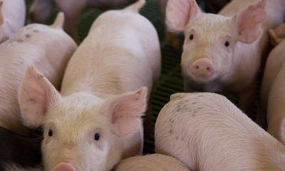 La peste porcina africana amenaza a AL, Se emite alerta a México y  Centroamérica