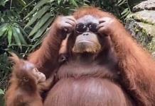 ¡Muy a la moda!; Orangután se roba uno lentes y se los prueba