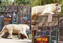 Muere una mujer en un zoológico en Chile tras ser atacada por un tigre
