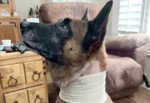 Apuñalan a un perrito policía por frustrar robo