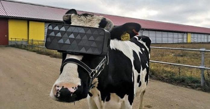 Vacas con realidad virtual; Para producir mas leche