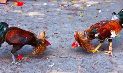 Peleas de gallos; un combate que llega a su fin