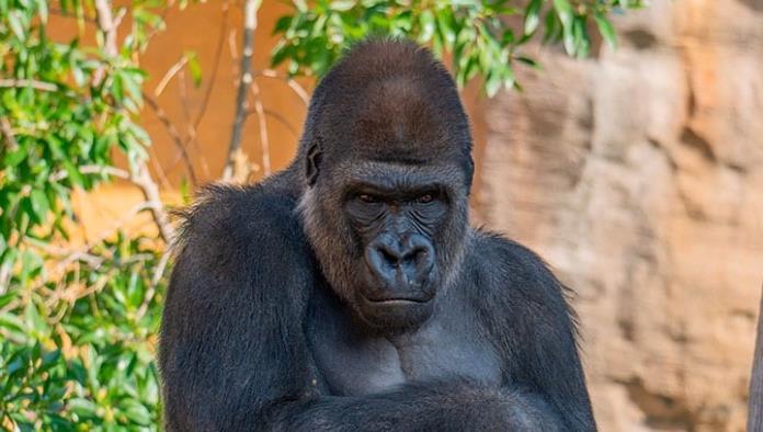 Gorilas dan positivo a COVID-19 en zoológico de Atlanta