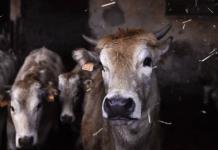 Vacas son entrenadas para ´ir al baño´ y así reducir los gases de efecto invernadero