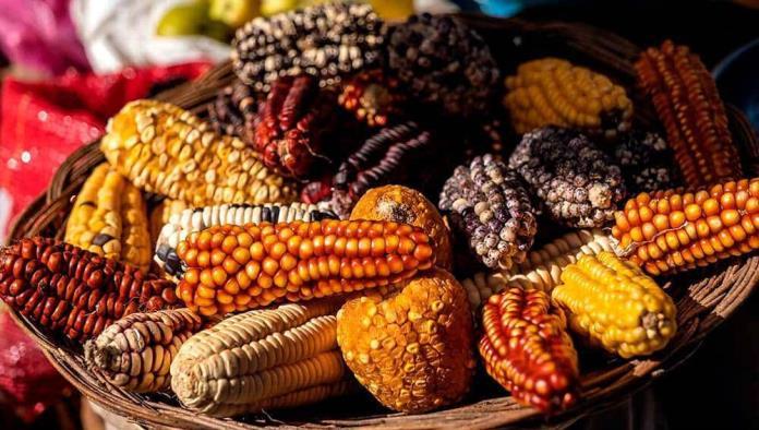 SCJN le dice No al maíz transgénico; Desechan amparos