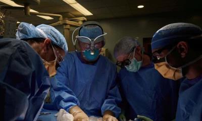Todo un éxito trasplante de riñón de cerdo en paciente humano